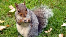 Wiewiórki już chomikują. Jesień za pasem?