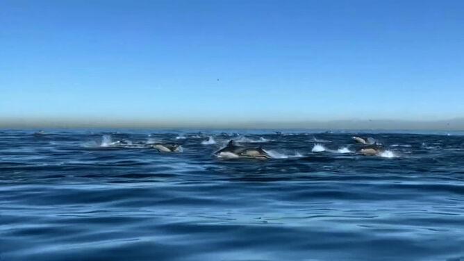 Stado blisko dwóch tysięcy delfinów zaobserwowano u wybrzeża Kalifornii