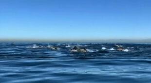 Stado delfinów u wybrzeża Kalifornii