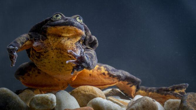 """""""Najbardziej samotna żaba na świecie"""". <br />Romeo odnalazł Julię"""