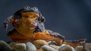 """""""Najbardziej samotna żaba na świecie"""". Romeo odnalazł Julię"""