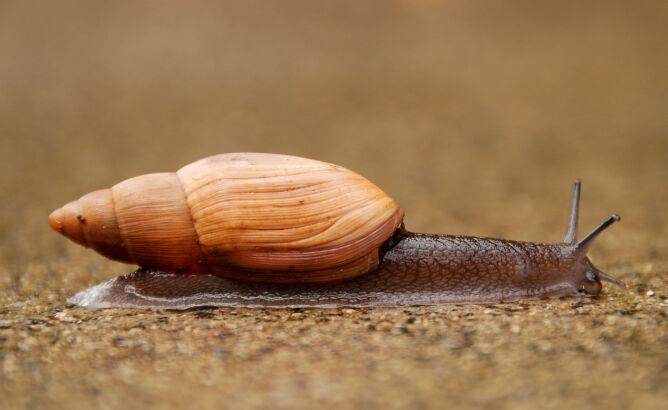 Tak wygląda ślimak kanibal (Dylan Parker/Flickr - CC BY-SA 2.0)